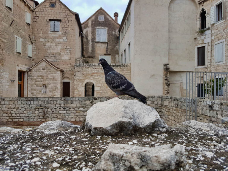 Pigeon in the Diocletian's Palace in Split Croatia